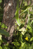 Πράσινο Anole Στοκ Εικόνες