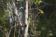 Πράσινο Anole Στοκ φωτογραφία με δικαίωμα ελεύθερης χρήσης