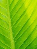 Πράσινο Anthurium κρυστάλλου φύλλο Στοκ φωτογραφία με δικαίωμα ελεύθερης χρήσης