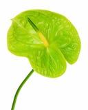 Πράσινο anthurium που απομονώνεται στο άσπρο υπόβαθρο Στοκ εικόνες με δικαίωμα ελεύθερης χρήσης