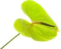 Πράσινο Anthurium, Στοκ εικόνα με δικαίωμα ελεύθερης χρήσης