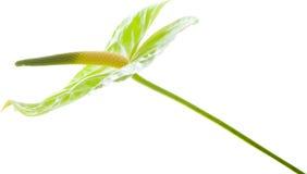 Πράσινο Anthurium, Στοκ Εικόνα