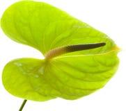 Πράσινο Anthurium, Στοκ Φωτογραφία