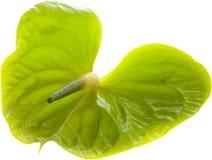 Πράσινο Anthurium, Στοκ φωτογραφία με δικαίωμα ελεύθερης χρήσης