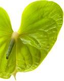 Πράσινο Anthurium, Στοκ φωτογραφίες με δικαίωμα ελεύθερης χρήσης