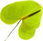 Πράσινο Anthurium, Στοκ Φωτογραφίες