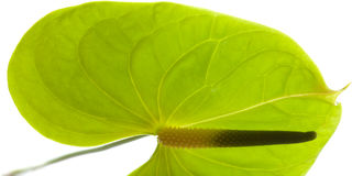Πράσινο Anthurium, Στοκ Εικόνες