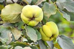 Πράσινο Apple-κυδώνι στον κλάδο Στοκ Φωτογραφία