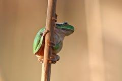 Πράσινο arborea Hyla treefrog Στοκ Φωτογραφίες