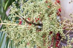 Πράσινο Areca καρύδι από Areca το μέσο πυροβολισμό φοινικών Στοκ Εικόνα