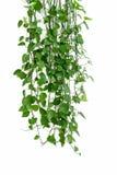 Πράσινο arum κισσών στον άσπρο τοίχο Στοκ Εικόνες