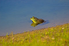 Πράσινο bullfrog Στοκ Φωτογραφία