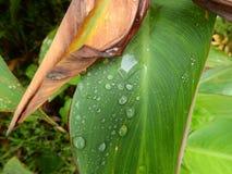Πράσινο canna πτώσης νερού φύλλων στοκ εικόνα με δικαίωμα ελεύθερης χρήσης