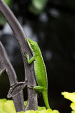 Πράσινο carolinensis Anolis σαυρών anole Στοκ εικόνα με δικαίωμα ελεύθερης χρήσης