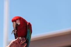 Πράσινο chloropterus Ara πουλιών παπαγάλων Macaw φτερών Στοκ φωτογραφίες με δικαίωμα ελεύθερης χρήσης