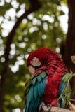 Πράσινο chloropterus Ara φτερών macaw Στοκ Φωτογραφίες