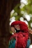 Πράσινο chloropterus Ara φτερών macaw Στοκ Εικόνες