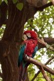 Πράσινο chloropterus Ara φτερών macaw Στοκ Εικόνα