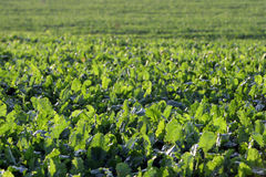 Πράσινο choy ποσό στην αύξηση στον κήπο Φρέσκο πράσινο λάχανο στον κήπο Στοκ εικόνες με δικαίωμα ελεύθερης χρήσης