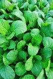 Πράσινο choy ποσό Στοκ Εικόνες