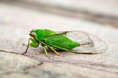 Πράσινο cicada Απριλίου (ochrina Kikihia), Cicada της Νέας Ζηλανδίας Στοκ Εικόνες