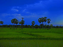 Πράσινο cornfield βράδυ στοκ εικόνες