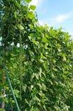 πράσινο cowpea στον κήπο Στοκ εικόνα με δικαίωμα ελεύθερης χρήσης