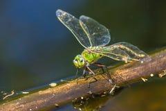 Πράσινο Dragonflyin μια λίμνη στοκ φωτογραφία με δικαίωμα ελεύθερης χρήσης
