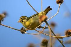 Πράσινο finch στοκ φωτογραφία με δικαίωμα ελεύθερης χρήσης
