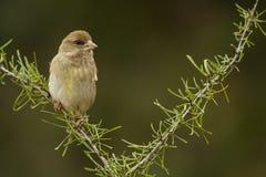 Πράσινο Finch Στοκ Φωτογραφία