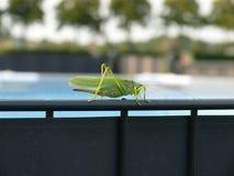 Πράσινο grashopper στοκ εικόνες