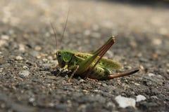 Πράσινο Grasshopper σε ένα γκρίζο υπόβαθρο πατωμάτων Στοκ φωτογραφία με δικαίωμα ελεύθερης χρήσης