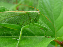 Πράσινο grasshopper σε ένα φύλλο Στοκ εικόνες με δικαίωμα ελεύθερης χρήσης