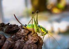 Πράσινο grasshopper στο φυσικό περιβάλλον Στοκ φωτογραφίες με δικαίωμα ελεύθερης χρήσης