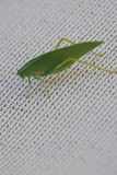 Πράσινο grasshopper φύλλο όπως το έντομο με τις φλέβες Στοκ φωτογραφία με δικαίωμα ελεύθερης χρήσης