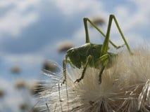 Πράσινο Grasshopper Στοκ εικόνες με δικαίωμα ελεύθερης χρήσης