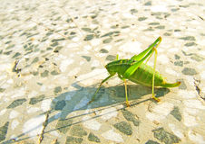 Πράσινο grasshopper Στοκ φωτογραφίες με δικαίωμα ελεύθερης χρήσης