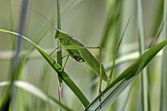 Πράσινο Grasshopper Στοκ Εικόνες