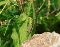 Πράσινο grasshopper (viridulus Omocestus) Στοκ εικόνες με δικαίωμα ελεύθερης χρήσης
