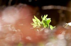Πράσινο hellebore στα ξύλα Στοκ Εικόνες