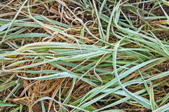 πράσινο hoarfrost χλόης Στοκ εικόνα με δικαίωμα ελεύθερης χρήσης