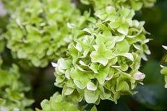 Πράσινο Hortensias στοκ φωτογραφία