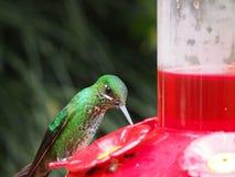 πράσινο humminbird στοκ φωτογραφίες