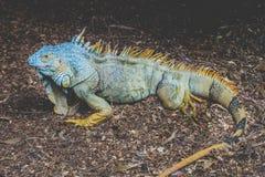 Πράσινο iguana/αμερικανικό iguana - πράσινη διευθυνμένη σαύρα Στοκ Φωτογραφία
