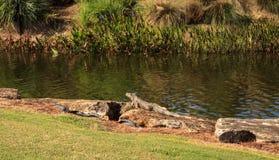 Πράσινο iguana, αποκαλούμενο επιστημονικά iguana Iguana Στοκ Εικόνα
