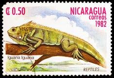 Πράσινο iguana Iguana Iguana, ερπετά serie, circa 1982 στοκ φωτογραφία