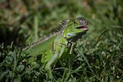 Πράσινο iguana ι Iguana iguana Στοκ εικόνες με δικαίωμα ελεύθερης χρήσης