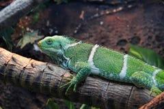 πράσινο Iguana, κινηματογράφηση σε πρώτο πλάνο Στοκ Φωτογραφία