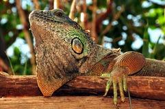 πράσινο iguana κινηματογραφήσ&epsilo Στοκ Φωτογραφία