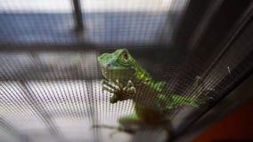Πράσινο iguana μωρών Στοκ εικόνες με δικαίωμα ελεύθερης χρήσης